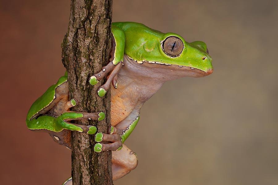 giant-waxy-monkey-tree-frog
